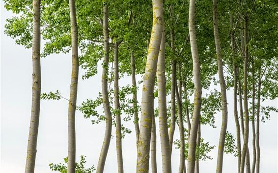 Обои Деревья, ствол, белый фон