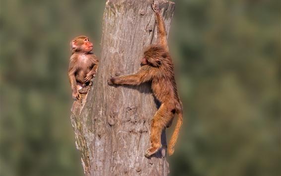 Fond d'écran Deux singes, moignon