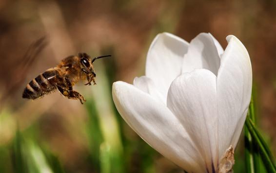 Papéis de Parede Flor branca, abelha