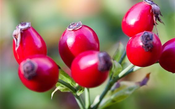 배경 화면 야생 장미 씨앗, 빨간 씨앗