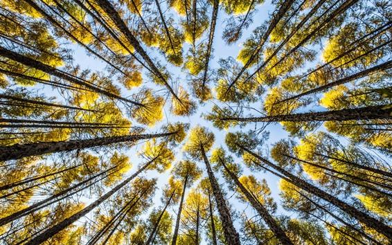 Обои Осень, деревья, желтые листья, взгляд в небо