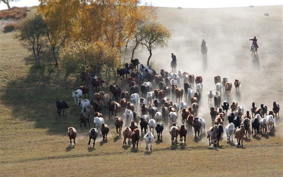 Wallpaper Bashang, many horses, grassland, trees, China