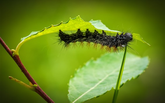 Wallpaper Black caterpillar, green leaves