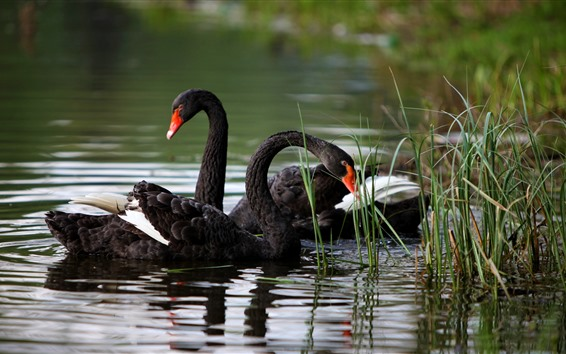 壁紙 黒い白鳥、草、池