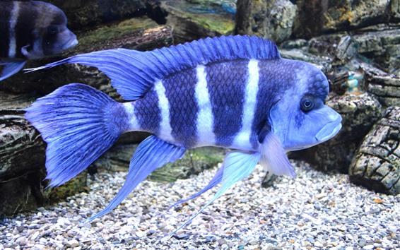 壁紙 青い縞模様の魚