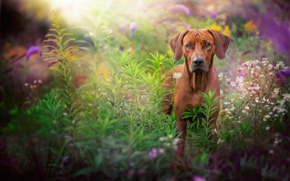 Wallpaper Brown dog, look, flowers, hazy background