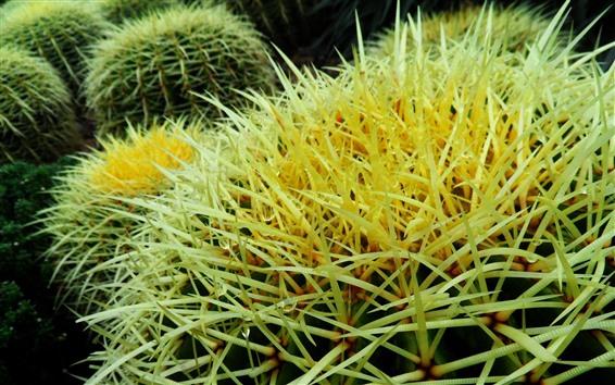 Wallpaper Cactus close-up, thorns
