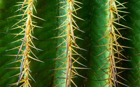 Wallpaper Cactus macro photography, thorns, plants