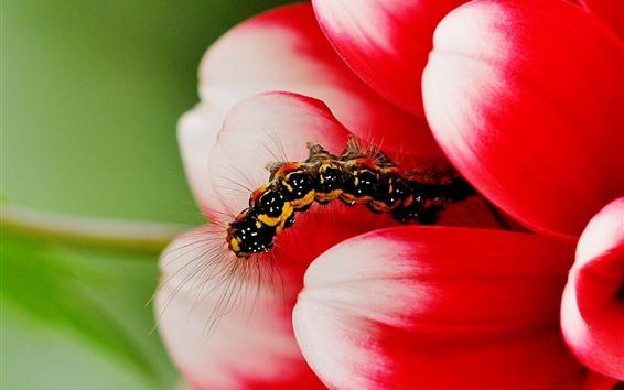 Wallpaper Caterpillar, red flower petals