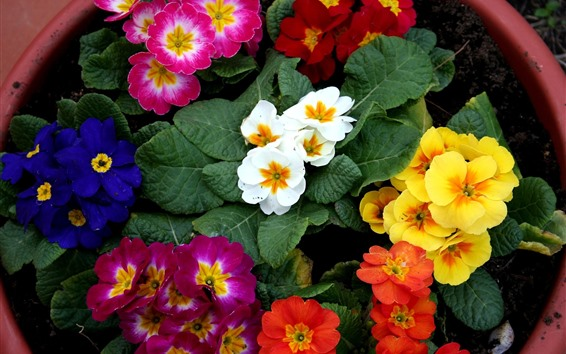 Wallpaper Different colors of primrose