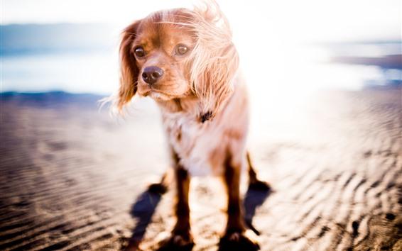 Wallpaper Dog, sunshine, backlight, beach, sea