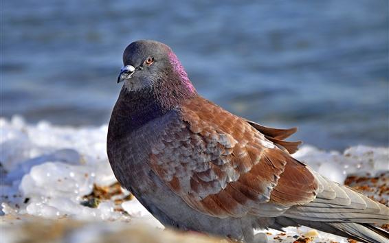 Papéis de Parede Pomba, pássaros, gelo, inverno