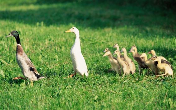 Обои Утиная семья, утята, трава