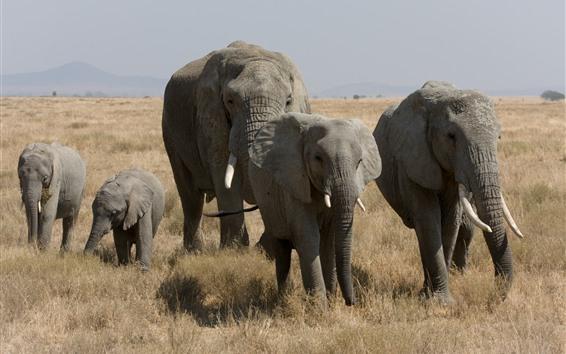 Papéis de Parede Elefantes, animais selvagens, grama