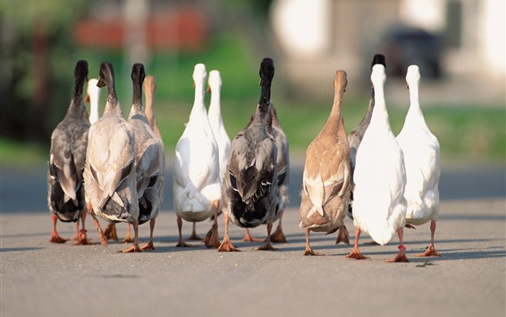 Wallpaper Geese flock, back view, tail