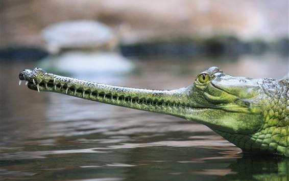 Papéis de Parede Gharial, crocodilo, cabeça, boca, dentes