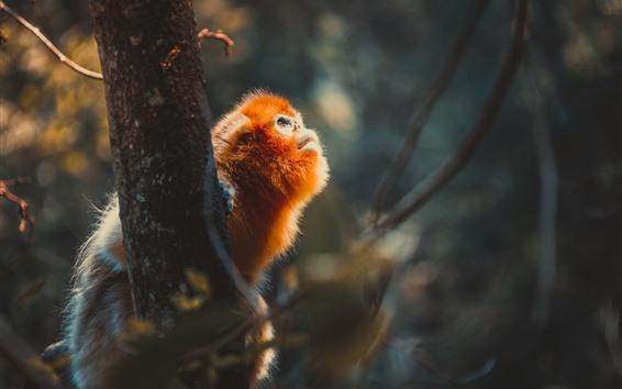 Fond d'écran Singe doré, arbre, regard, faune