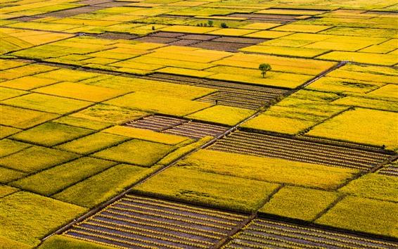Papéis de Parede Campos de arroz dourado, belas paisagens