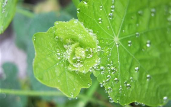 Обои Зеленые листья крупным планом, капли воды