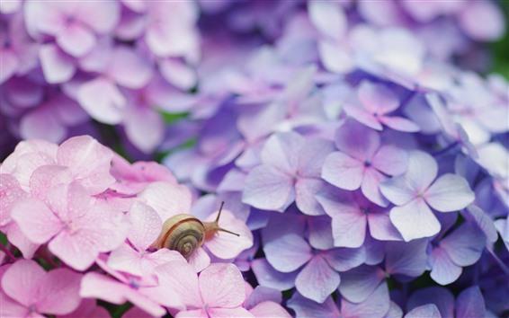 Papéis de Parede Inseto, caracol, flores cor de rosa, hortênsia
