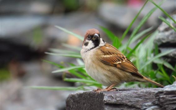 Papéis de Parede Um pássaro, pardal, olha