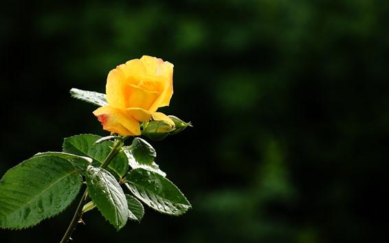 Papéis de Parede Uma rosa amarela, pétalas, folhas verdes, gotas de água, fundo nebuloso