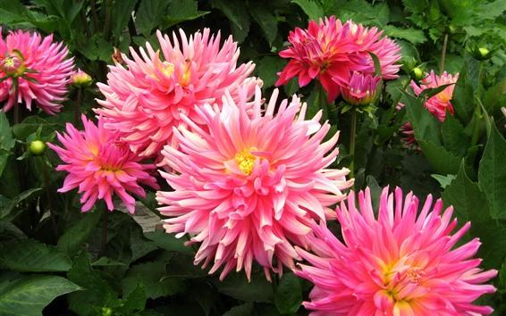 배경 화면 핑크 꽃, 달리아