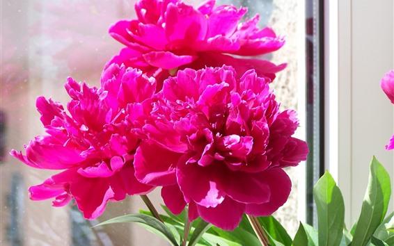 Papéis de Parede Peônias rosa, janela