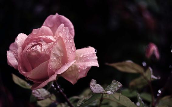 Wallpaper Pink rose close-up, water droplets, petals