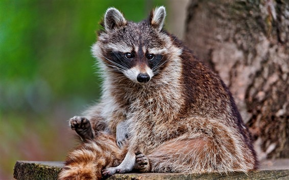 Papéis de Parede Guaxinim, descanso, animais selvagens
