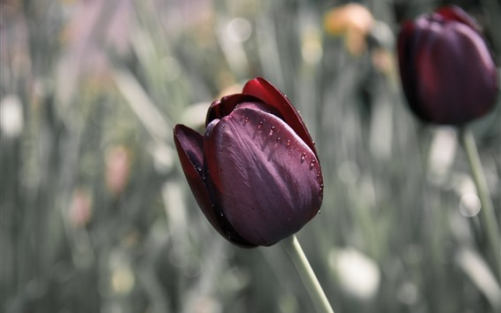 Wallpaper Red tulips, water droplets, hazy background