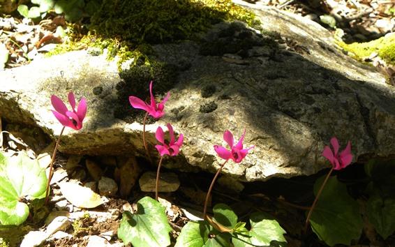 Обои Некоторые розовые цветы, камни