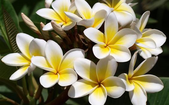 배경 화면 일부 노란 plumeria 꽃