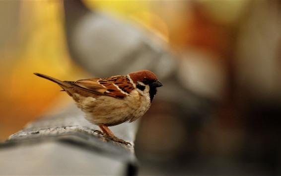Papéis de Parede Pardal close-up, pássaro, fundo nebuloso
