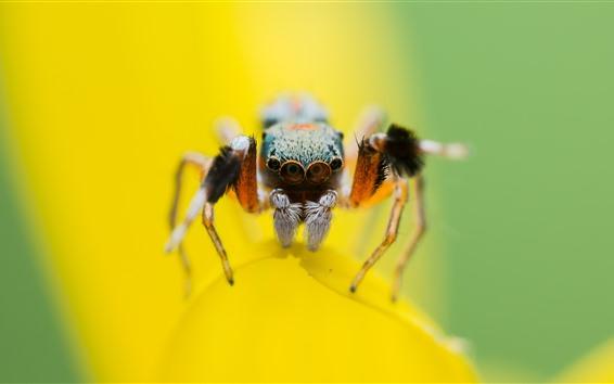Papéis de Parede Macro fotografia de aranha, pétalas amarelas