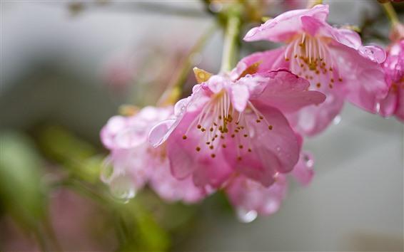 Papéis de Parede Flores da primavera, sakura rosa, gotas de água