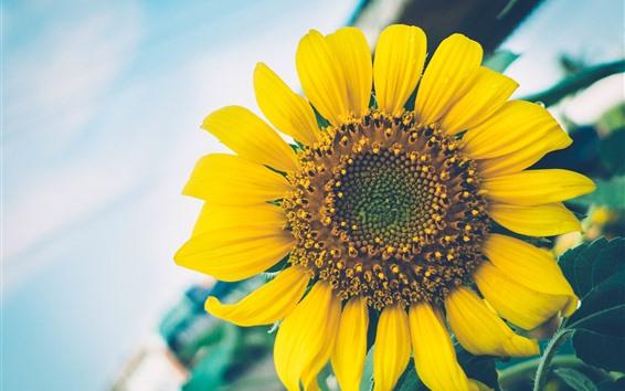 배경 화면 해바라기, 노란 꽃잎