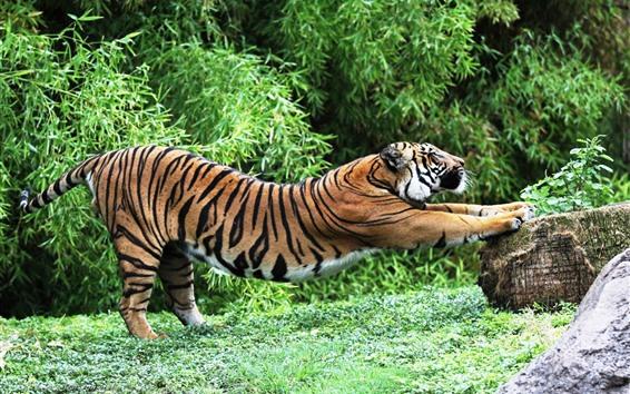 Wallpaper Tiger, pose, stone