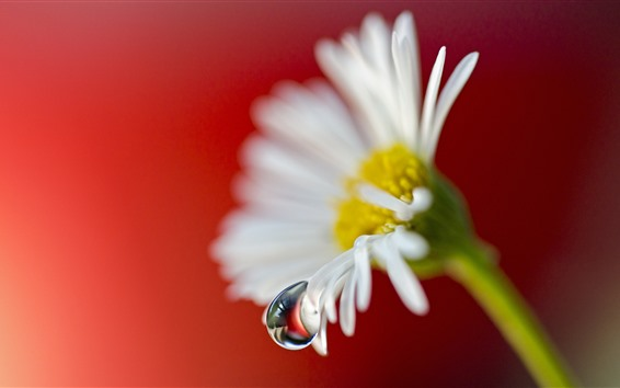 Wallpaper White chamomile flower, dew, red background