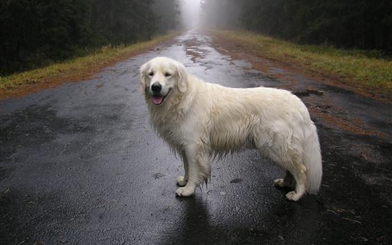 Papéis de Parede Cão branco, estrada, árvores, nevoeiro