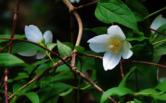 Papéis de Parede Flores brancas, galhos, folhas verdes