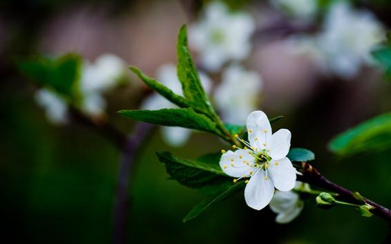 Wallpaper White plum flowers bloom, spring
