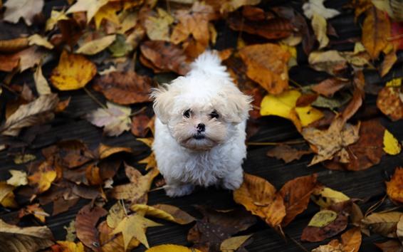 Papéis de Parede Cachorro branco olhar para cima, folhas amarelas, outono