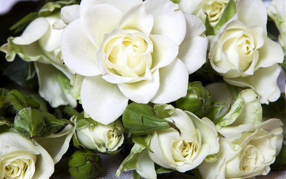 Wallpaper White roses, flowers, petals