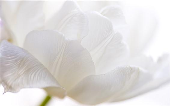 Обои Белый тюльпан крупным планом, лепестки
