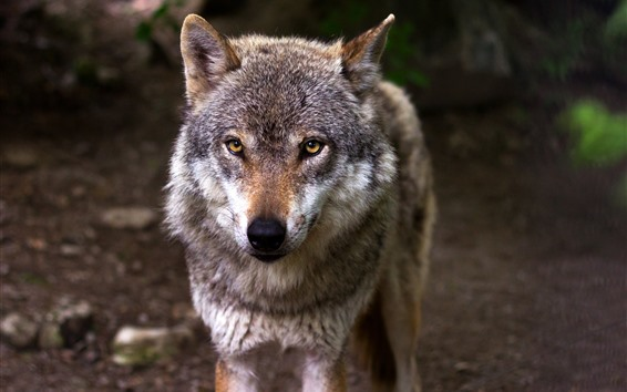 Обои Дикая природа, волк, взгляд, глаза, вид спереди