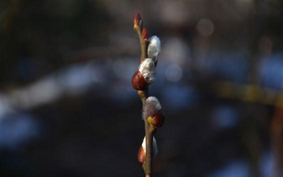 배경 화면 버드 나무 싹 클로즈업, 봄