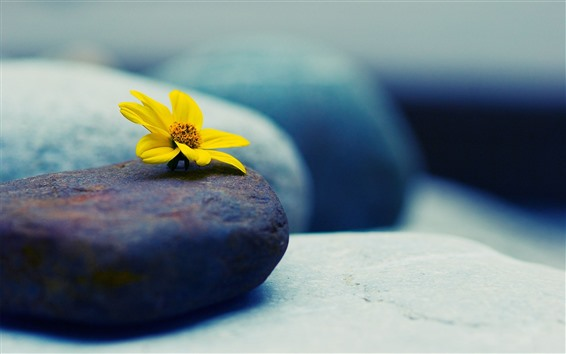Обои Желтый цветок, камни