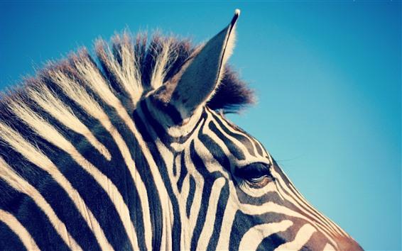 Wallpaper Zebra, ear, head, mane