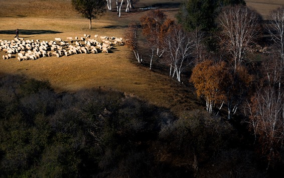Обои Осень, деревья, овцы